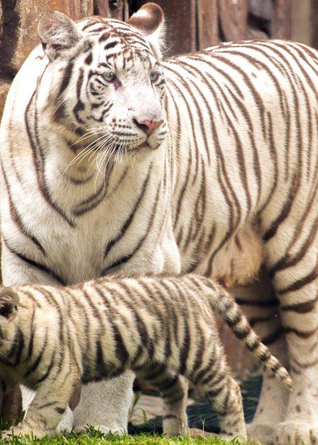 Tigre-branco-31